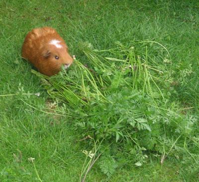 de cavia krijgt zoveel lekker dat we zelfs het gras in zijn wei moeten maaien!