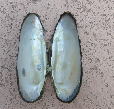 zoetwatermossel binnenkant schelp